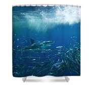 A Great White Shark Swims Close Shower Curtain