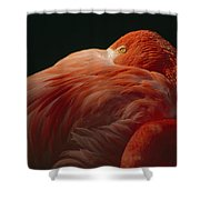 A Greater Flamingo With Its Head Shower Curtain
