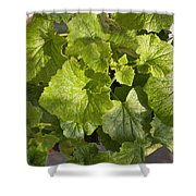 A Green Leafy Vegetable Plant After Watering In Bright Sunrise Shower Curtain