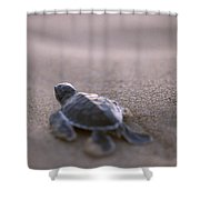 A Green Sea Turtle Hatchling Races Shower Curtain