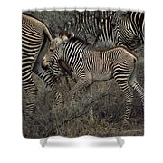 A Grevys Zebra With Young In Samburu Shower Curtain