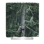 A Grizzly Bear Clings To A Fir Tree Shower Curtain