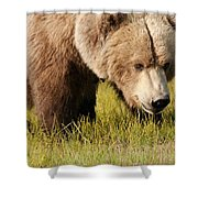 A Grizzly Bear Ursus Arctos Horribilis Shower Curtain