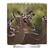 A Group Of Alert Impalas In Samburu Shower Curtain