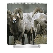 A Group Of Bighorn Sheep Rams Shower Curtain