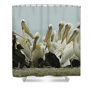A Group Of Eastern White Pelicans Shower Curtain