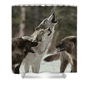 A Group Of Gray Wolves, Canis Lupus Shower Curtain