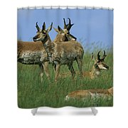A Group Of Pronghorns In Buffalo Gap Shower Curtain