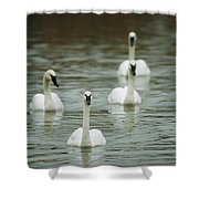 A Group Of Swans Swimming On A County Shower Curtain