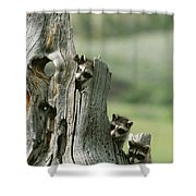 A Group Of Young Racoons Peer Shower Curtain