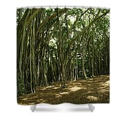 A Grove Of Banyan Trees Send Airborn Shower Curtain