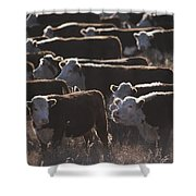 A Herd Of Cattle On The Wyoming Range Shower Curtain