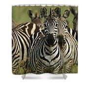 A Herd Of Zebras Standing Alert Shower Curtain