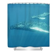 A Humpback Mother Swims With Her Calf Shower Curtain