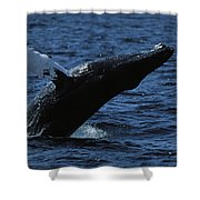 A Humpback Whale Breaching Shower Curtain