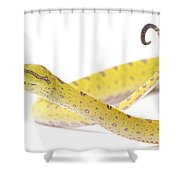 A Juvenile Green Tree Python Sits Alert Shower Curtain