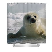 A Juvenile Harp Seal Pagophilus Shower Curtain