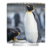A King Penguin Stands On Pebbled Ground Shower Curtain