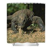 A Komodo Dragon Sensing The Air Shower Curtain