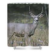 A Large Antlered White-tailed Deer Shower Curtain