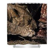 A Lion Feeding On The Carcass Of A Cape Shower Curtain