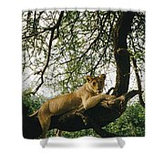 A Lion Panthera Leo Relaxes On A Tree Shower Curtain