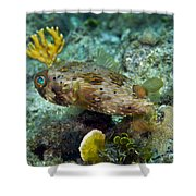 A Long-spined Porcupinefish, Key Largo Shower Curtain by Terry Moore