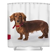 A Longhair Red Dachshund With A Small Shower Curtain