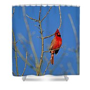 A Male Cardinal Sings In A Suburban Shower Curtain