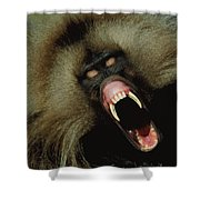 A Male Gelada Baboon Bares His Fangs Shower Curtain