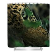 A Male Leopard Dozes Shower Curtain