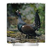 A Male Western Capercaillie Tetrao Shower Curtain