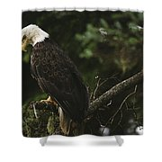 A Mature Bald Eagle Is Perched Atop Shower Curtain