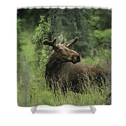 A Moose Stands In Tall Grass Shower Curtain
