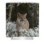 A Mountain Lion, Felis Concolor Shower Curtain