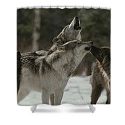 A Pack Of Gray Wolves, Canis Lupus Shower Curtain