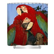 A Pair Of Captive Red-and-green Macaws Shower Curtain