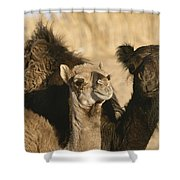 A Pair Of Dromedary Camels Pose Proudly Shower Curtain