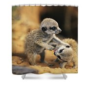 A Pair Of Four-week-old Meerkat Pups Shower Curtain