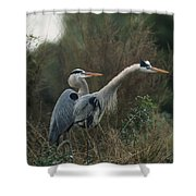 A Pair Of Great Blue Herons Stand Shower Curtain