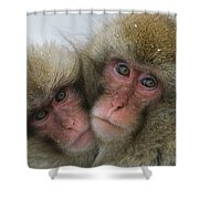 A Pair Of Japanese Macaques, Or Snow Shower Curtain