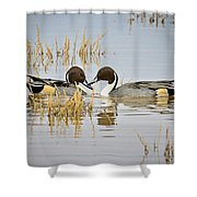 A Pair Of Northern Pintail Ducks  Shower Curtain