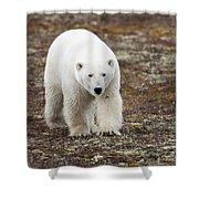 A Polar Bear Ursus Maritimus Walking Shower Curtain