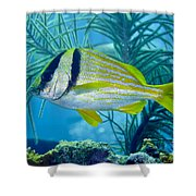 A Porkfish Swims By Sea Plumes Shower Curtain by Terry Moore