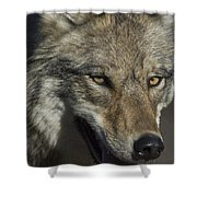 A Portrait Of A Gray Wolf Shower Curtain