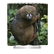 A Red-bellied Lemur Clings To A Tree Shower Curtain