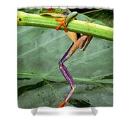 A Red-eyed Tree Frog, Agalychnis Shower Curtain