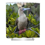 A Red-footed Booby Sula Sula Galapagos Shower Curtain
