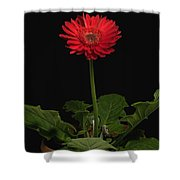 A Red Gerbera In A Pot Shower Curtain