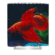 A Red Siamese Fighting Fish In An Shower Curtain
